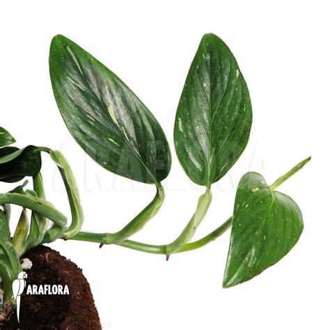 epipremnum aureum araflora flora more epipremnum aureum