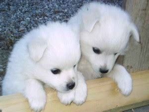 puppies for sale fargo nd dogs west fargo nd free classified ads