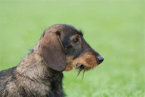 Types Of Wire Haired Dogs by Large Breeds With Wire Hair Breeds Picture