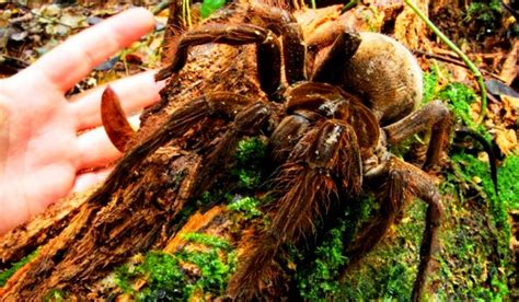 puppy sized spider puppy sized quot goliath quot spider discovered in rainforest clubhouse news