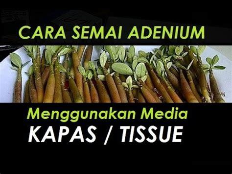 semai adenium  media tissue  kapas tanaman