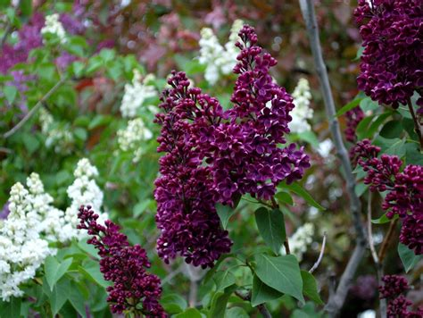 purple lilac lilacs light in leaves