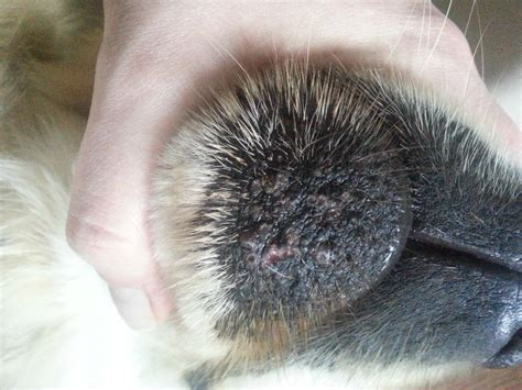 folliculitis in dogs the gallery for gt furunculosis in dogs