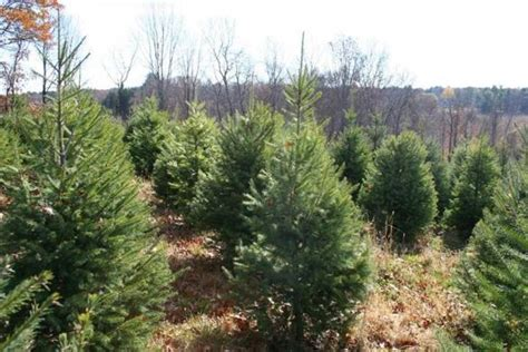 christmas tree farms where to go to cut your own the