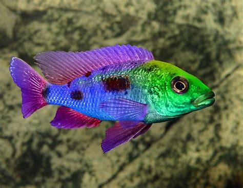 most colorful cichlids 25 best tropical freshwater fish images on