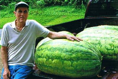 history of the watermelon amazing watermelons