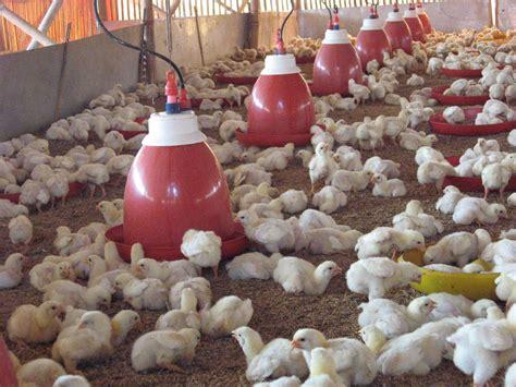 Bibit Ayam Potong Hari Ini peluang bisnis usaha beternak ayam potong
