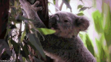 imagenes animadas koala koala gif find share on giphy