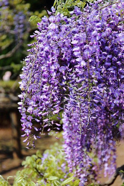 wisteria gardening ideas flowers pinterest