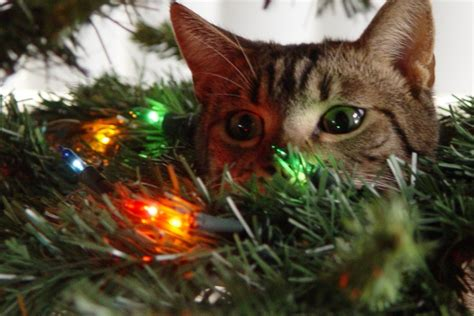 cats and christmas trees fuzzfeed