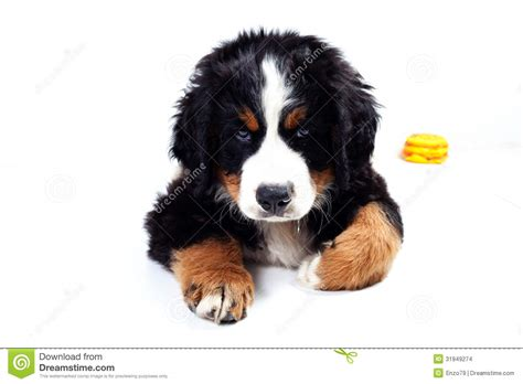Mts White Pages Lookup Puppy Bernese Mountain