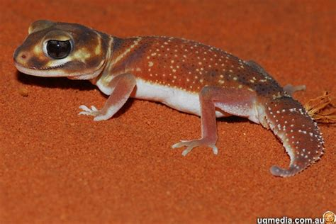 Smooth Knob Tailed Gecko by Shark Bay Stewed Thoughts