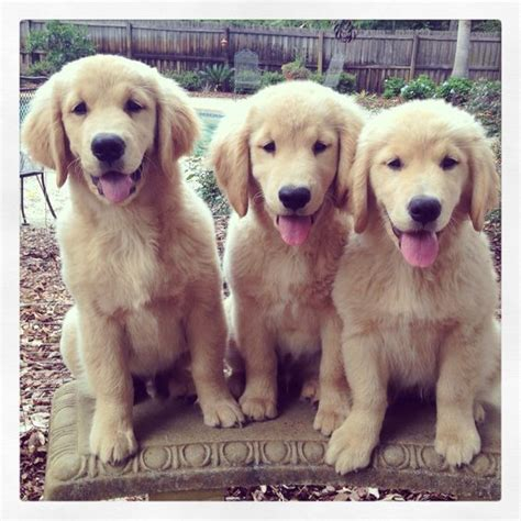 11 week golden retriever 11 week golden retriever weight loss distributioninter