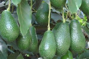Tanaman Alpukat Hass shepard avocados almost ripe for the picking abc rural