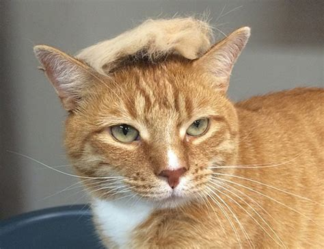 cat hair 21 hilarious photos of cats looking like donald 5