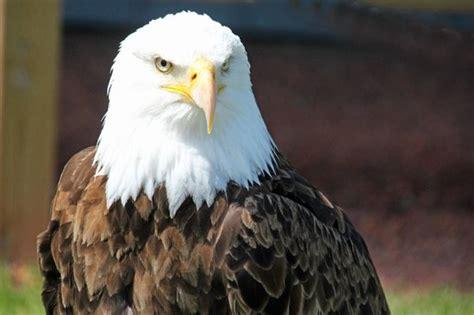 best 28 birds of prey alberta bald eagle at birds of