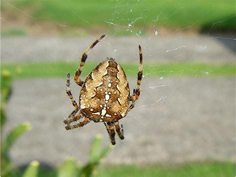What Is A Uk Garden Spiders Habitat Garden Spider Naturespot