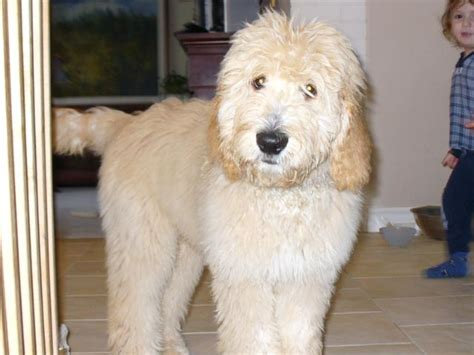 goldendoodle puppy bc pin goldendoodle puppies toronto ontario canada breeder of