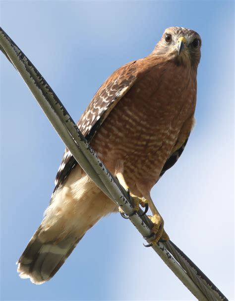 file rkinch red shouldered hawk jpg wikimedia commons
