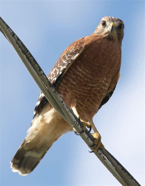 type of hawks in tn file rkinch shouldered hawk jpg wikimedia commons