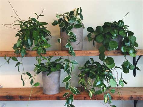 hoya plant care   grow  top  cultivars hoya