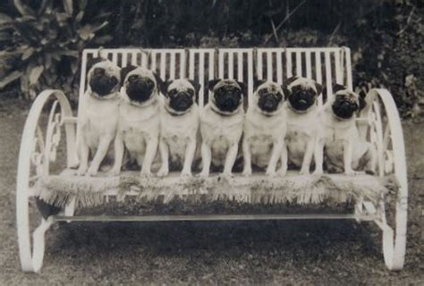 the history of pugs pug illustrated standard history