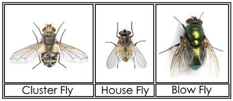 blow flies in house cluster flies information images how to get rid of them