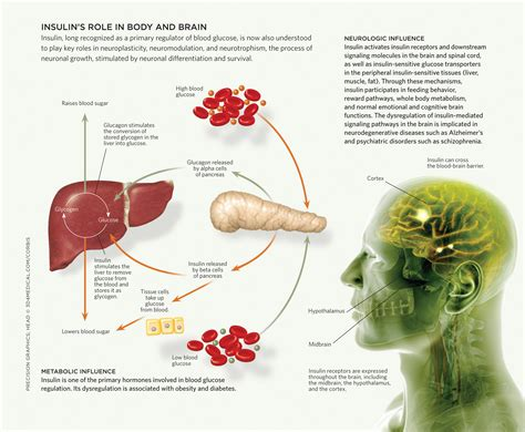carbohydrates location in cell metabolism and the brain the scientist magazine 174