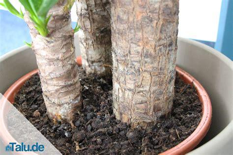 garten yucca teilen palmlilie yucca elephantipes pflege im zimmer talu de