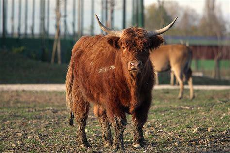siamo i watussi testo vacca highlander safari ravenna loc mirabilandia