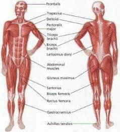 muscular system human anatomy