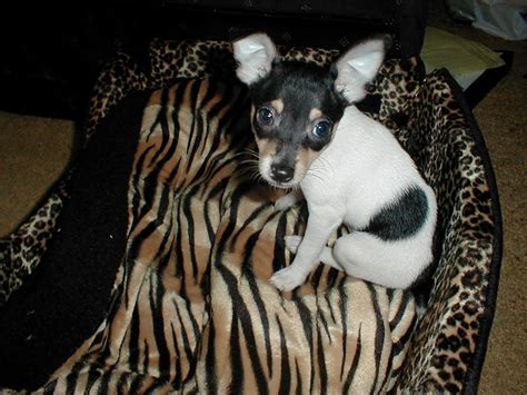 fox terrier yorkie mix puppies for sale fox terrier yorkie mix puppies for sale dogs our friends photo