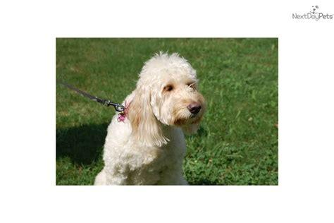 puppy finder va husky puppies virginia free alaskan husky puppies find husky puppies breeds picture