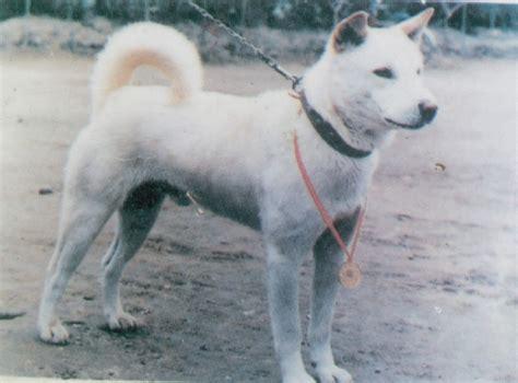 korean jindo puppies korea jindo