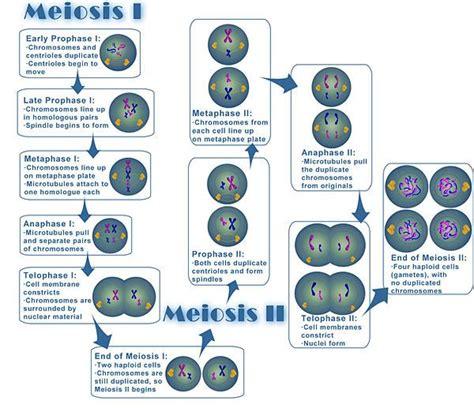 a diagram of meiosis meiosis diagram biology teaching