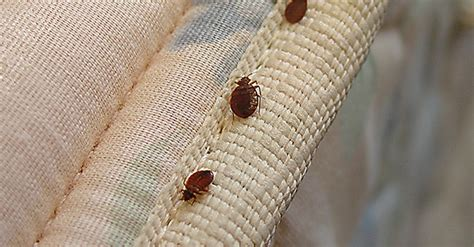 all about bed bugs how to prevent bed bugs while traveling