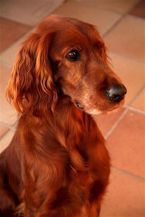au setter dog lisieux 126 best images about irish setter on pinterest irish