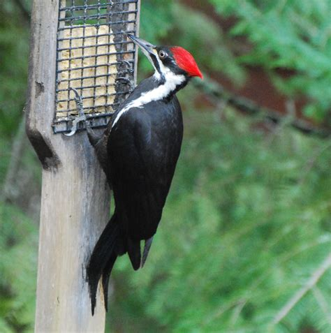 how to make homemade suet let the dog in