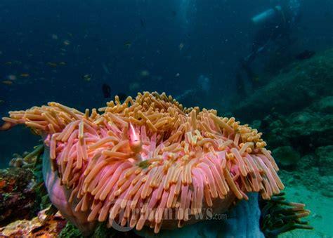 Bibit Terumbu Karang keindahan terumbu karang bawah laut pulau sabang foto 5