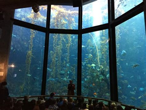 Cal State Monterey Bay Mba Review by The Kelp Forest Exhibit Picture Of Monterey Bay Aquarium