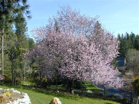 trees of santa cruz county prunus cerasifera thundercloud thundercloud plum