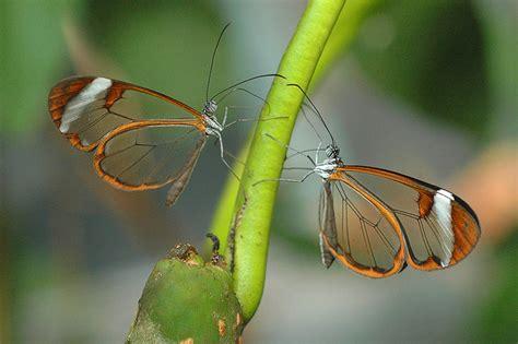 imagenes mariposas de cristal curiosidades del reino animal una mariposa transparente
