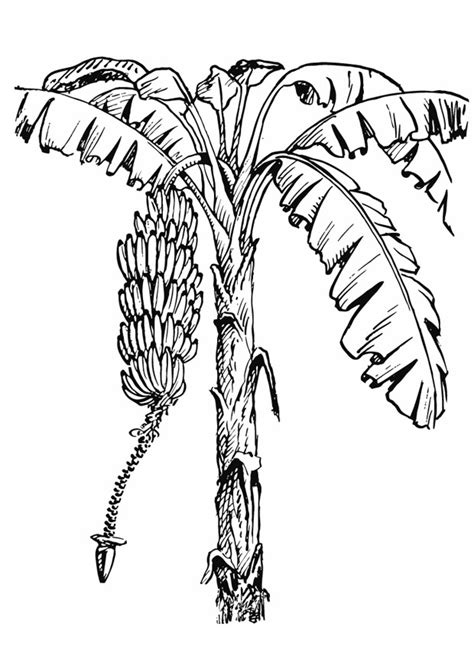 Banana Tree Coloring Page coloring pages banana tree cooloring