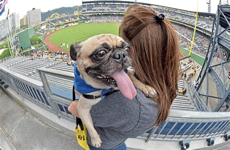 pug adoption pittsburgh pet events pugtoberfest shorty vegan and more pittsburgh post gazette
