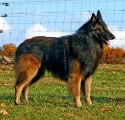 belgian sheepdog vetstreet belgian shepherd tervuren breed guide learn about the