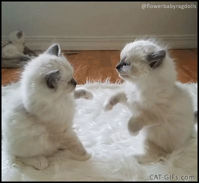 ragdoll fighting cutest kitten fight does this remind you of a in a