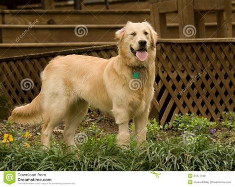 golden retriever 7 months golden retriever pupppy royalty free stock images image 24177469