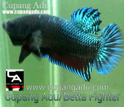 Ikan Cupang Fighter cupangadu cupang adu betta fighter www cupangadu
