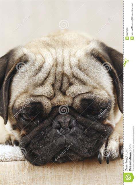 bored pug bored pug royalty free stock photos image 3513428