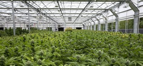 marijuana growers and greenhouse companies help each other